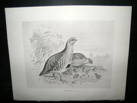 Frohawk 1898 Antique Bird Print. Partridge